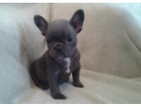 KC French bulldog puppy's blue