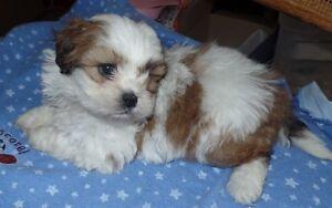 Shih Tzu Bichon Puppies