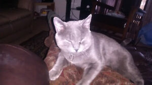 Beautiful green/eyed nueterured  male/silver and grey haired.
