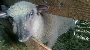 Freezer lamb