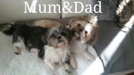 Puppies in London | Dogs & Puppies for Sale - Gumtree