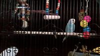 Beautiful Lacewing Budgie +cage+accessories