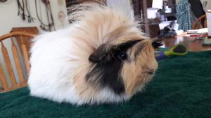 Tame Guinea pig !!