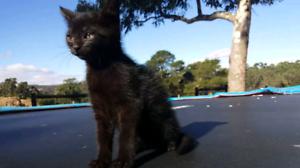 Beautifull female kitten