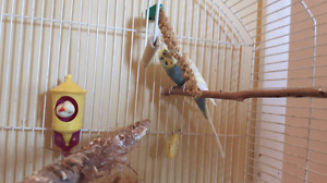 Male Budgie in cage