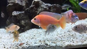 African Cichlid - Strawberry Dragonblood Show Male