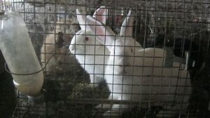 rabbits for sale Peterborough Peterborough Area image 2