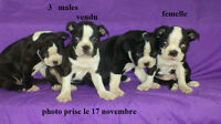 3 ADORABLES PETITS CHIOTS BOSTON TERRIER 1 FEMELLE, 2 MALES