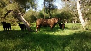 Registered Galloway Cattle