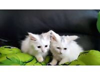 Persian X Turkish Angora kitten. 1 left