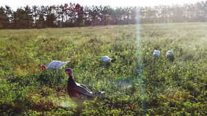 Free-range farm turkeys for sale!