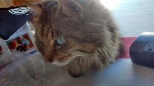 Kim - Lost Female Cat - Brown Tabby Longhair London Ontario image 1