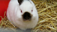 Looking to Buy Netherland Dwarfs with Pedigrees