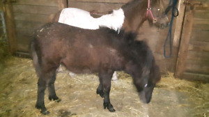 Black mini yearling Filly