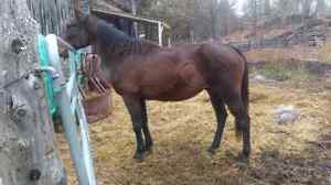 Beautiful Standardbred for sale or trade