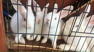 Rabbits ONLY ONE LEFT HURRY!!! Maitland Maitland Area Preview