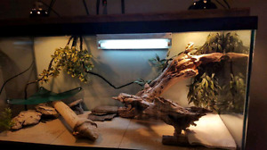 Bearded Dragon with 90 gal  tankand accessories