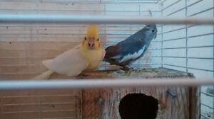 Cockatiel, Love birds , English Budgies and Budgies for sale