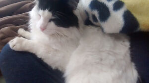 Billy-Bob -  Lost Male Cat - White and Black Longhair London Ontario image 1