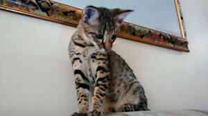 African Serval Hybrids(Savannah kitten) F2 and F3  male