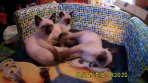 9 week old Classic Siamese kittens for Halloween