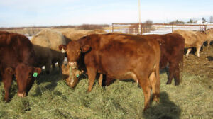 9 bred cows - 3 red & 6 tan due mid - end April