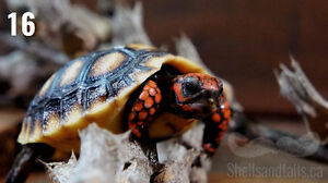 Hatching Redfoot Tortoises