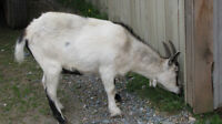 Fixed Male Pygmy Goat, Sell or Trade