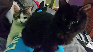 Missing long haired black cat