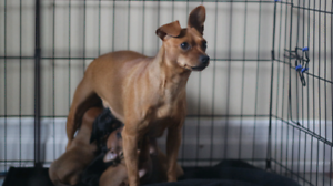 4 Min Pin Pups for Sale