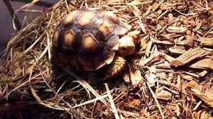 Tortoise with set up