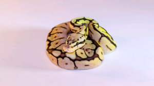 Ball pythons for sale young and adult