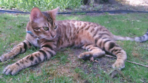 Missing Bengal cat male neutered