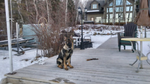 Wanted, socialization for our 8 month old German Shepherd.