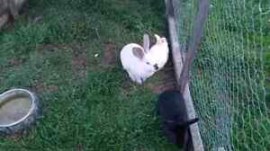 Large Rabbits for sale
