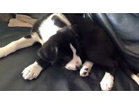 collie cross spaniel lab pup