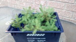 Pine tree saplings