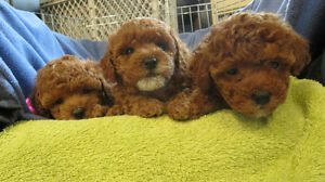 3 female red / apricot teddy bear toy poodle puppies