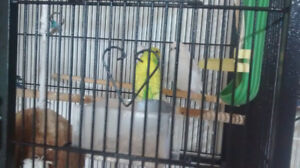Budgie rehoming photos