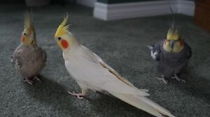 Three Cockatiels with Cage & Accessories