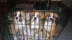 Reduced sale 3 olde english bulldogge females are ready to go!