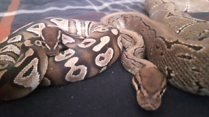 Two very excellent female ball pythons