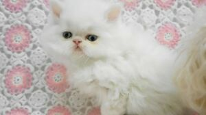 Adorable Teacup WHITE PERSIAN Kitten! It's a Baby Boy!