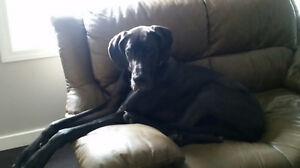 Female Black Great Dane