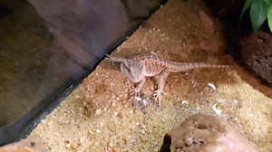 ***REDUCED PRICE*** Bearded Dragon