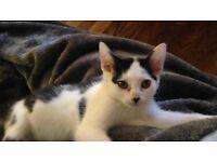 Kitten 13 weeks old