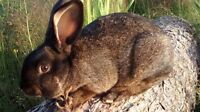 Flemish Giant Californian Mixed Bunny