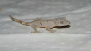 Cream/Grey Patternless Dalmatian Crested Gecko