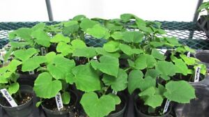 Pickling Cucumber Plants for Sale - $2.50 each
