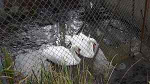 Mute Swans Kawartha Lakes Peterborough Area image 1